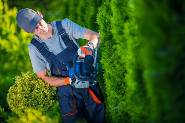Hedge Trimmer Works. Gardener with Gasoline Hedge Trimmer Shaping Wall of Thujas.